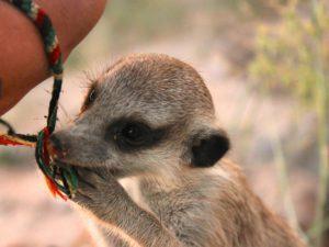 Meerkat pup with friendship bracelet - Laura Meldrum